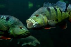Twee vissen Stock Foto's