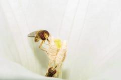 Twee vliegen zoals een wesp, voer op witte nectar, die binnen een bloem zitten Macro Royalty-vrije Stock Afbeelding