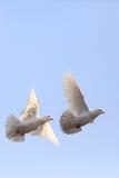 Twee vliegende witte duiven Stock Afbeelding