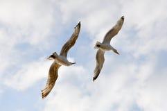 Twee vliegende zeemeeuwen Royalty-vrije Stock Foto's