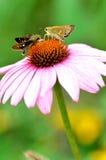 Twee vlinders royalty-vrije stock afbeeldingen