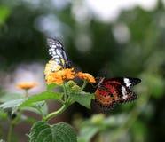 Twee vlinders Stock Foto's