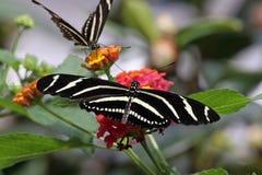 Twee Vlinders Royalty-vrije Stock Afbeelding