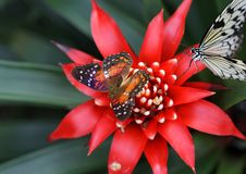 Twee vlinders die op de heldere rode bloem zitten Royalty-vrije Stock Foto