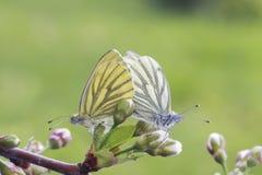 Twee vlinders die op een groene weide in de zomer zitten Stock Afbeelding