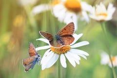 Twee vlinders die op het gras op een heldere Zonnige achtergrond zitten Stock Foto's