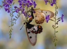 Twee vlinders het koppelen Stock Afbeelding