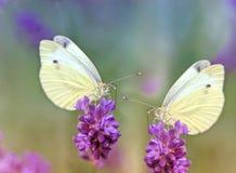 Twee vlinders op een lavendel Royalty-vrije Stock Afbeelding