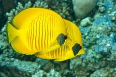 Twee vlindervissen zwemmen dichtbij koralen Royalty-vrije Stock Foto's