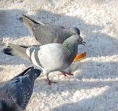 Twee voedende duiven op de sneeuw Stock Foto