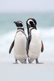 Twee vogel op de sneeuw, Magellanic-pinguïn, Spheniscus-magellanicus, overzees met golf, dieren in de aardhabitat, Argentinië, Zu stock foto