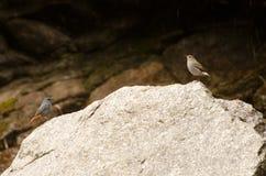 Twee vogels die op één steen zitten Stock Foto