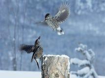 Twee vogels die voor voedsel in de winter vechten Royalty-vrije Stock Foto