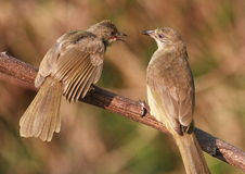 Twee vogels op boomtak. 59-9 jpg Stock Foto's