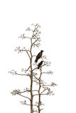 Twee vogels op witte achtergrond Royalty-vrije Stock Foto