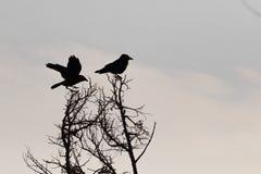 Twee vogelsilhouet op de tak van de boom stock afbeeldingen