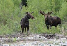 Twee volwassen Amerikaanse elanden weiden door de rivier. royalty-vrije stock afbeeldingen