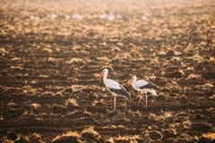 Twee Volwassen Europese Witte Ooievaars die zich op Gebied in Wit-Rusland bevinden Wi stock afbeelding