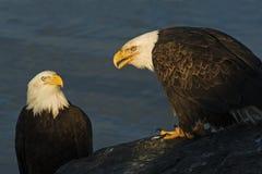 Twee volwassen Kaal Eagles Haliaeetus leucocephalusbeeld Royalty-vrije Stock Afbeeldingen