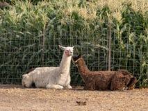 Twee volwassen lama's in een geschermde werf Royalty-vrije Stock Foto