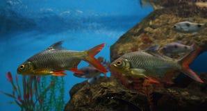Twee voornvissen met rode vinnenvlotter in het water tegen de rug stock afbeelding