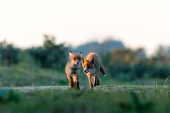 Twee vossen bij zonsondergang Stock Afbeeldingen