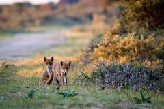 Twee vossen bij zonsondergang Stock Foto's