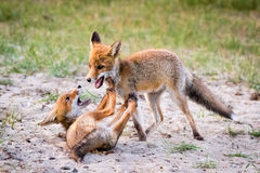 Twee vossen die in zand spelen Royalty-vrije Stock Foto's