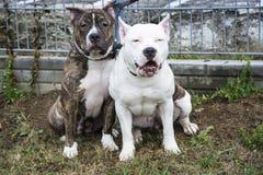 Twee vrienden van de Terriër van de Stier van de Kuil Royalty-vrije Stock Foto