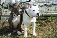 Twee vrienden van de Terriër van de Stier van de Kuil Royalty-vrije Stock Foto's