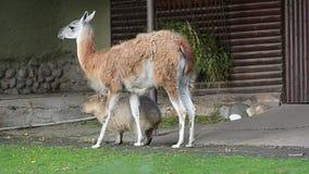 Twee vriendencapybara en lama stock footage