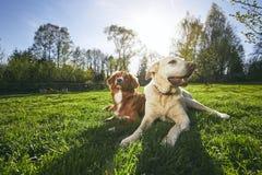 Twee vriendschappelijke honden in aard Stock Afbeelding