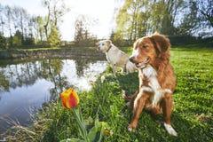 Twee vriendschappelijke honden in de zomeraard Stock Afbeeldingen