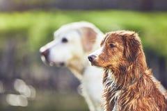 Twee vriendschappelijke honden in de zomeraard Stock Afbeelding