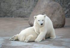 Twee vrij ijsberen Stock Foto's