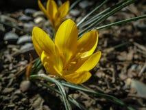 Twee vroege krokussen Gouden Geel onder de boom Zonnige de lentedag royalty-vrije stock foto's