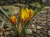 Twee vroege krokussen Gouden Geel onder de boom Zonnige de lentedag royalty-vrije stock foto