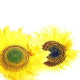 Twee vrolijke gele zonnebloemen Royalty-vrije Stock Foto