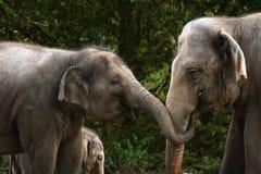 Twee vrouwelijke Aziatische olifanten die pret hebben Stock Afbeelding