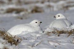 Twee vrouwelijke Rotsptarmigan zitting in de sneeuw na een nacht bliz stock foto's