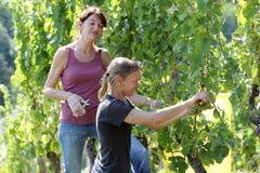 Twee vrouwen die druiven oogsten Stock Foto's