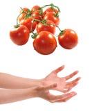 Twee vrouwenhanden die tomaten houden Royalty-vrije Stock Foto