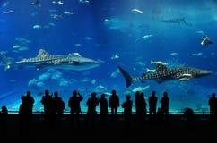 Twee walvishaai van het aquarium van Okinawa stock afbeelding