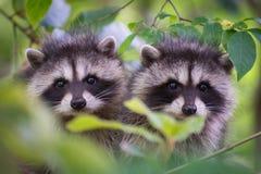 Twee wasbeerwelpen in een boom royalty-vrije stock afbeelding