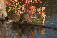 Twee Wasberen (Procyon-lotor) zetten een Logboek aan Royalty-vrije Stock Foto's