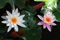 Twee Waterlelies Stock Afbeeldingen