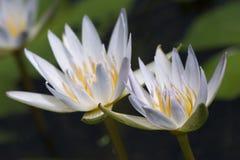 Twee waterlelies Royalty-vrije Stock Foto