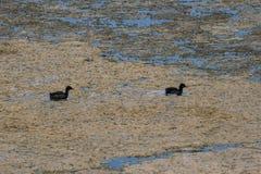 Twee Watervogels die in Moeras zwemmen stock foto's