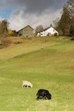 Twee weidende schapen, boerderij en schuur Royalty-vrije Stock Fotografie