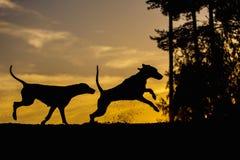 Twee Weimaraner-honden in aard - achter aangestoken silhouetten stock fotografie